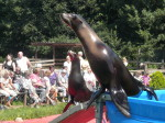 Seehund führt Kunststück vor.