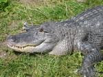 Krokodil auf dem Elefantenhof in Platschow.