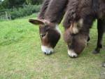 Mutter Esel und ihr Fohlen grasen nebeneinander