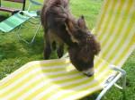 Eselfohlen inspiziert Liegestuhl