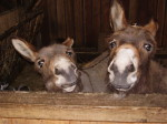 Zwei Esel schauen direkt in die Kamera