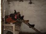 Wie auf dem Bauernhof: Hühner auf der Leiter