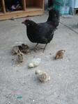 Huhn mit Küken in der Sommerküche